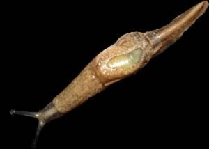 The semi-slug that has been heavily implicated in transmission of rat lung worm disease. University of Hawai'i photo.