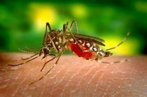 mosquito dengue zika
