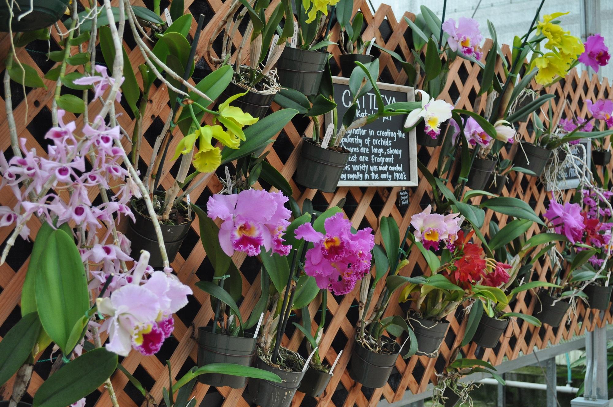 Orchids Hawaii Big Island