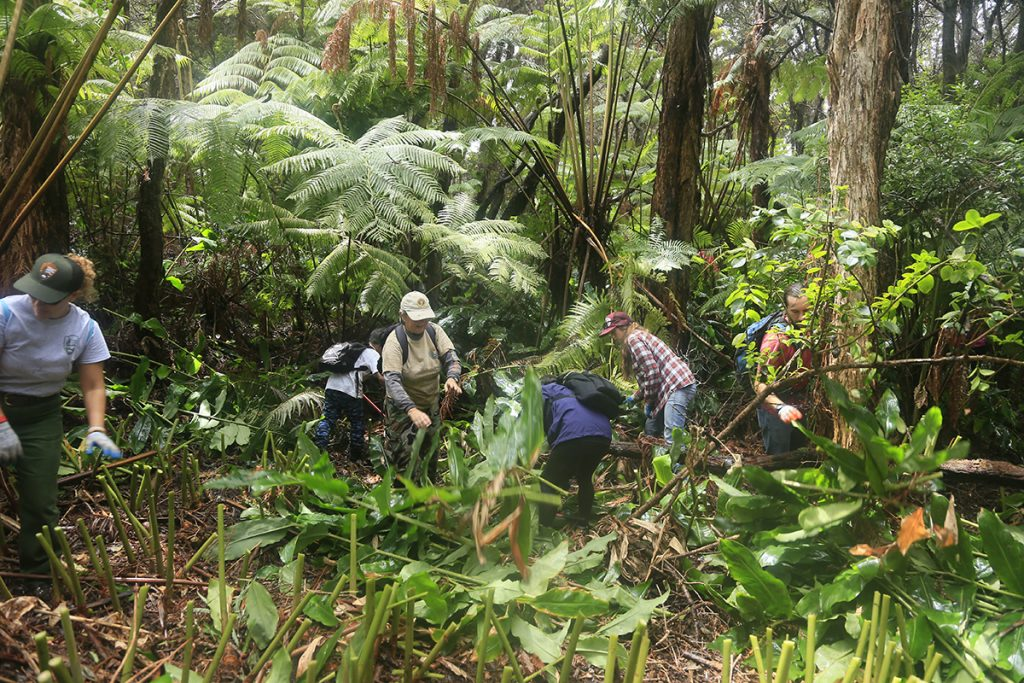 Many hands working together. Park volunteers and staff work to remove invasive plant species near Devastation Trail. NPS photo.