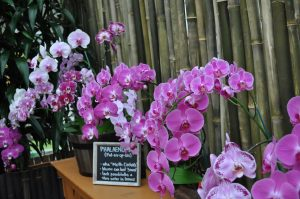 Phal area Akatsuka Orchid Gardens photo.