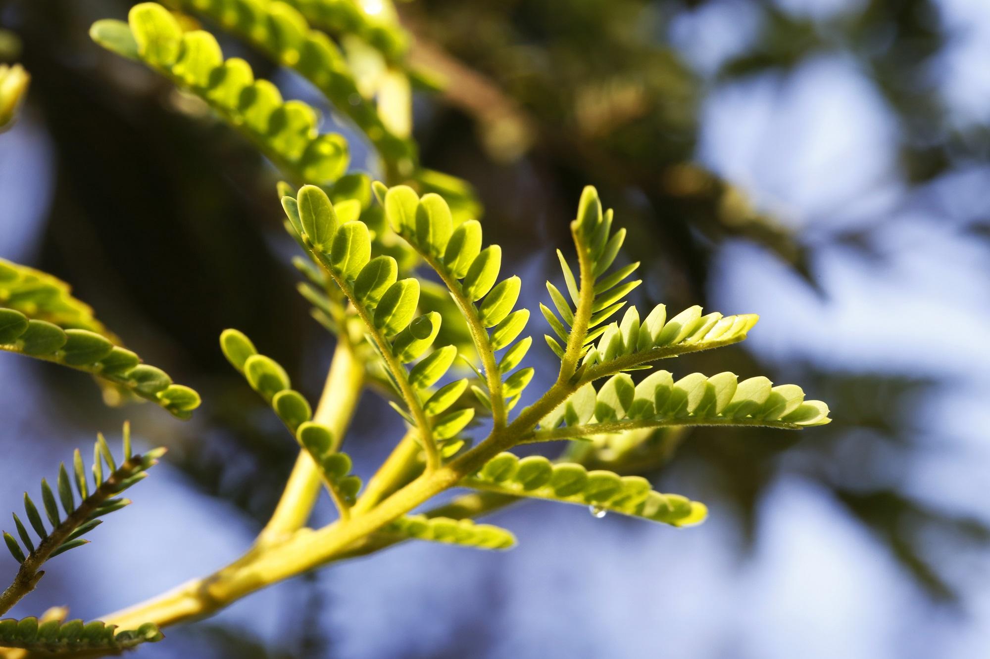 Junge Blätter am Koa Baum (Acacia koa), Big Island of Hawaii, USA