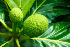 Breadfruit. Big Island Now stock photo