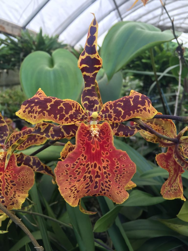 "OCT 15 ""Orchids Around the World"""