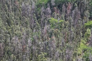 A view from a helicopter of the Rapid ʻŌhiʻa Death Statewide Survey Results. The disease has impacted nearly 50,000 acres of native forest on the Big Island alone.