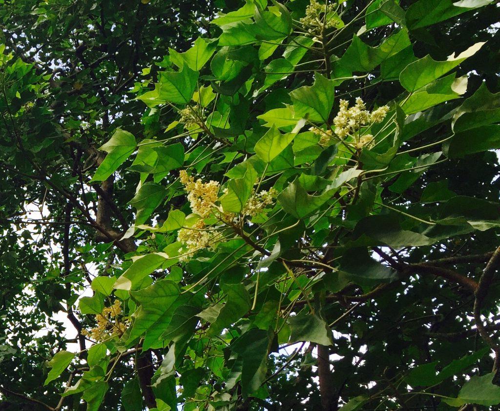Kukui nut blossoms. Photo: Darde Gamayo