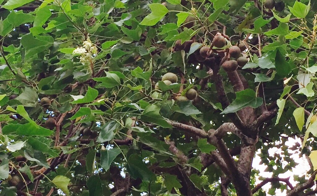 Blossoms and nuts of the kukui nut tree. Photo: Darde Gamayo