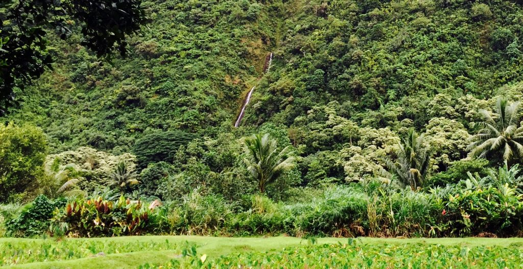 The ight color of leaves make it easy to identify kukui nut trees in the distance.Photo: Darde Gamayo