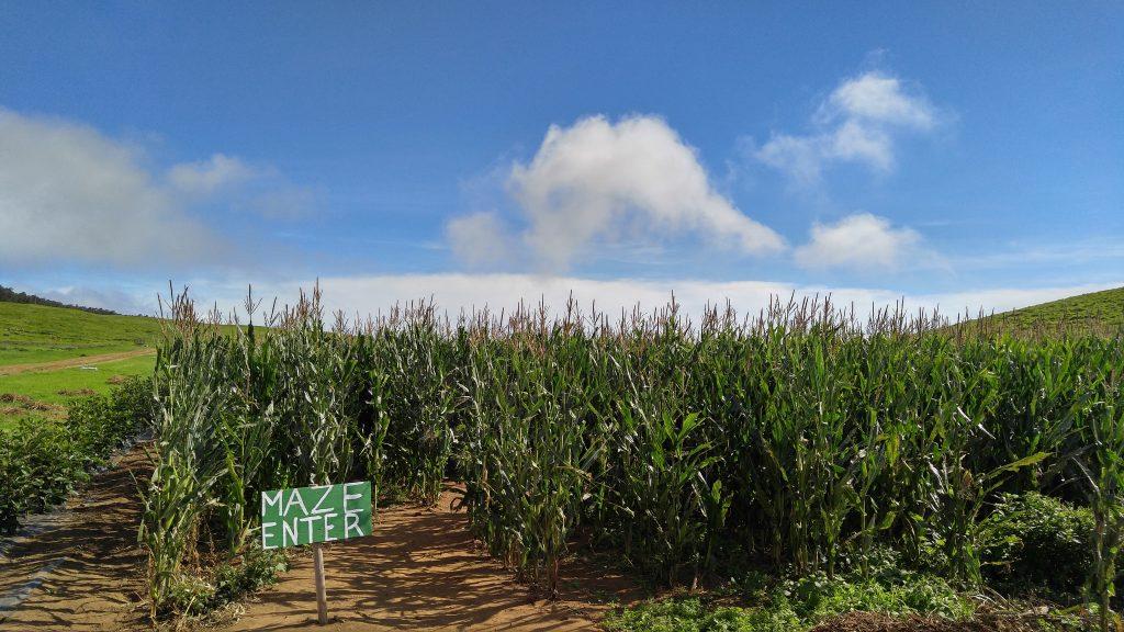 The corn maze at the Kohala Mountain Educational Farm on Hawaii Island. Photo: Crystal Richard.
