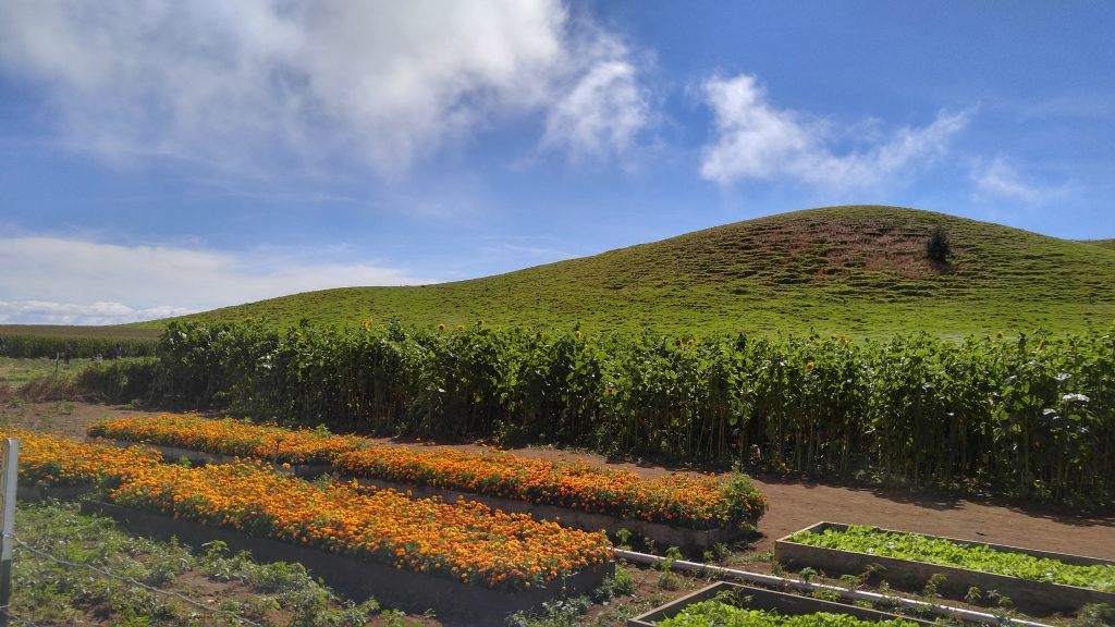 In addition to the pumpkin patch, in the raised garden beds marigolds are in full bloom, as well as, the sunflowers at Kohala Mountain Educational Farm along the Kohala Coast of the Big Island on Saturday, Oct. 22, 2016. Photo: Crystal Richard.