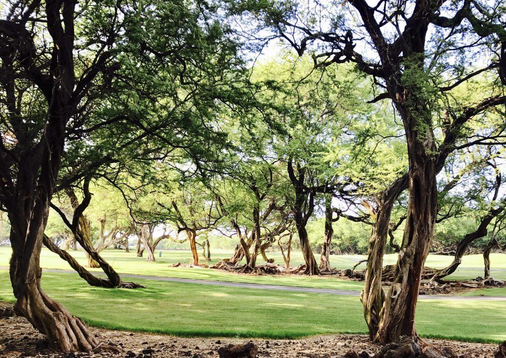 Manicured kiawe trees provide beautiful shade.DardeGamayo photo.