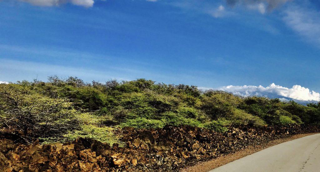 Kiawe growing wild. DardeGamayo photo.