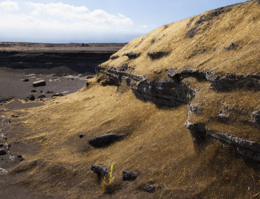 Prevailing trade winds blow much of the Pele's hair from Kīlauea Volcano's summit lava lake into the Ka'ū Desert, where it accumulates against gully walls. USGS photo.