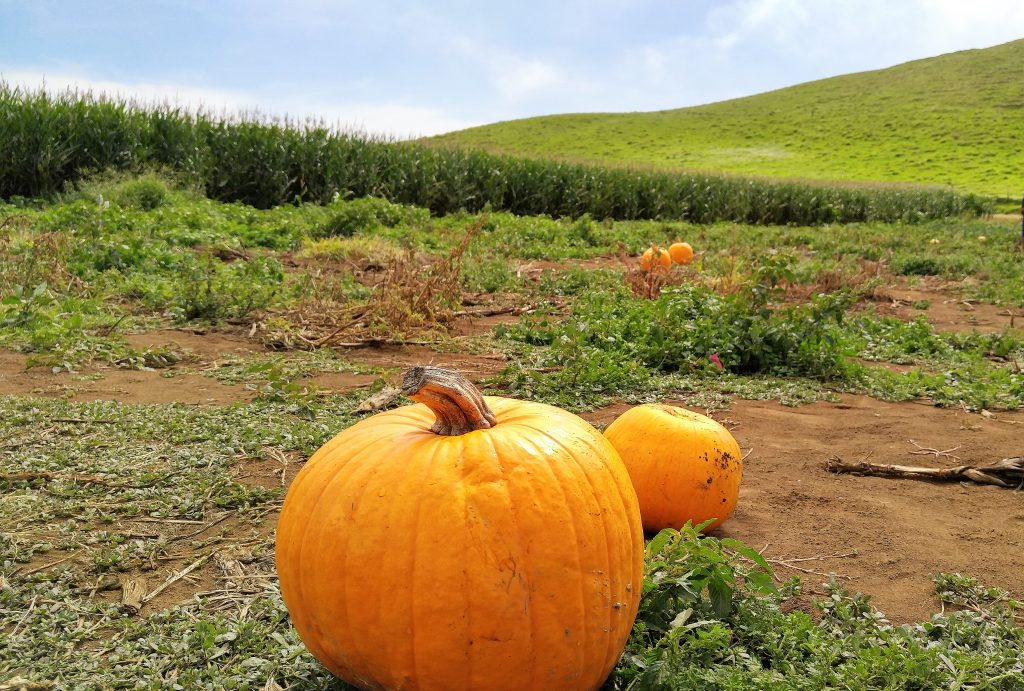 The pumpkin patch at Kohala Mountain Educational Farm sold out of over 35,000 pounds of pumpkins on the third Saturday of October 2016. Photo: Crystal Richard.