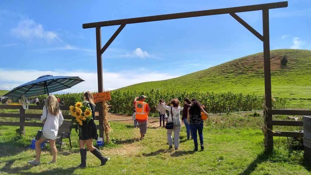Lopaka Decker showing guests of Kohala Mountain Educational Farm around the pick your own sunflowers field on Saturday, Oct. 22, 2016. Photo: Crystal Richard.