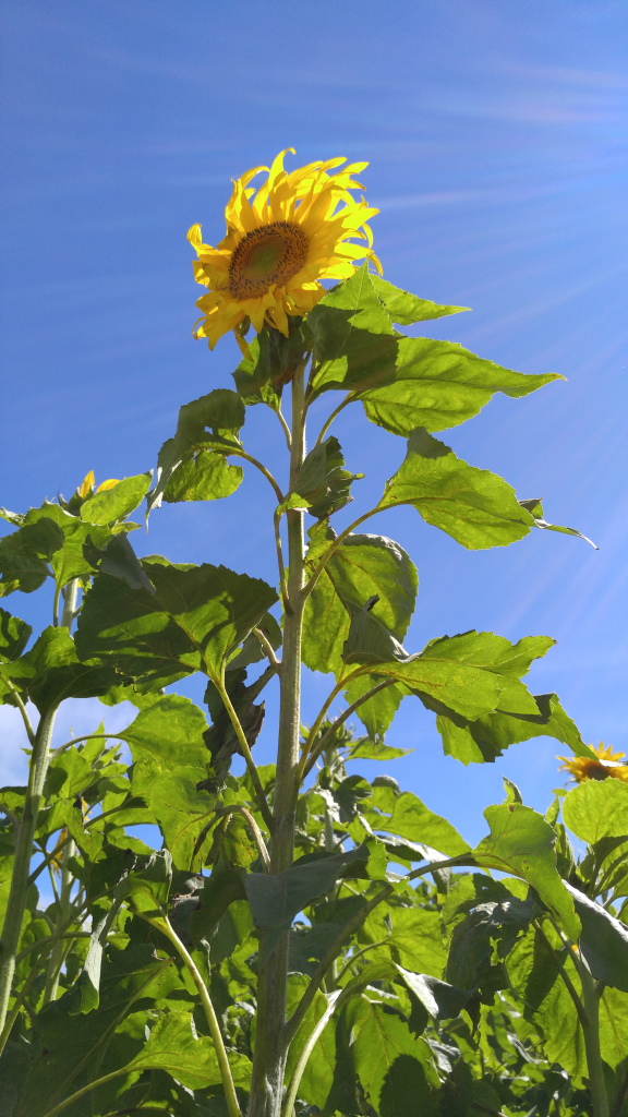 A popular attraction among Kohala Mountain Educational Farm's guests is the pick your own sunflowers. This year approximately 5,000 sunflower seeds were planted, with about 80% making it to flower. The sunflowers became a part of the farm in 2013 and can be expected each year in October. Photo: Crystal Richard.