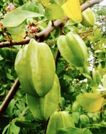The fruit turns from green to a light yellow, then to dark yellow when ripe. Darde Gamayo photo.
