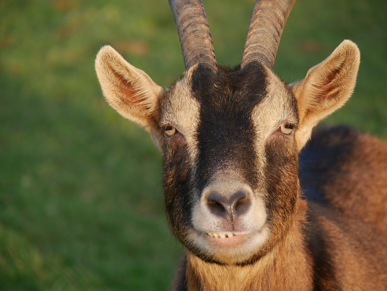 goat - photo #13