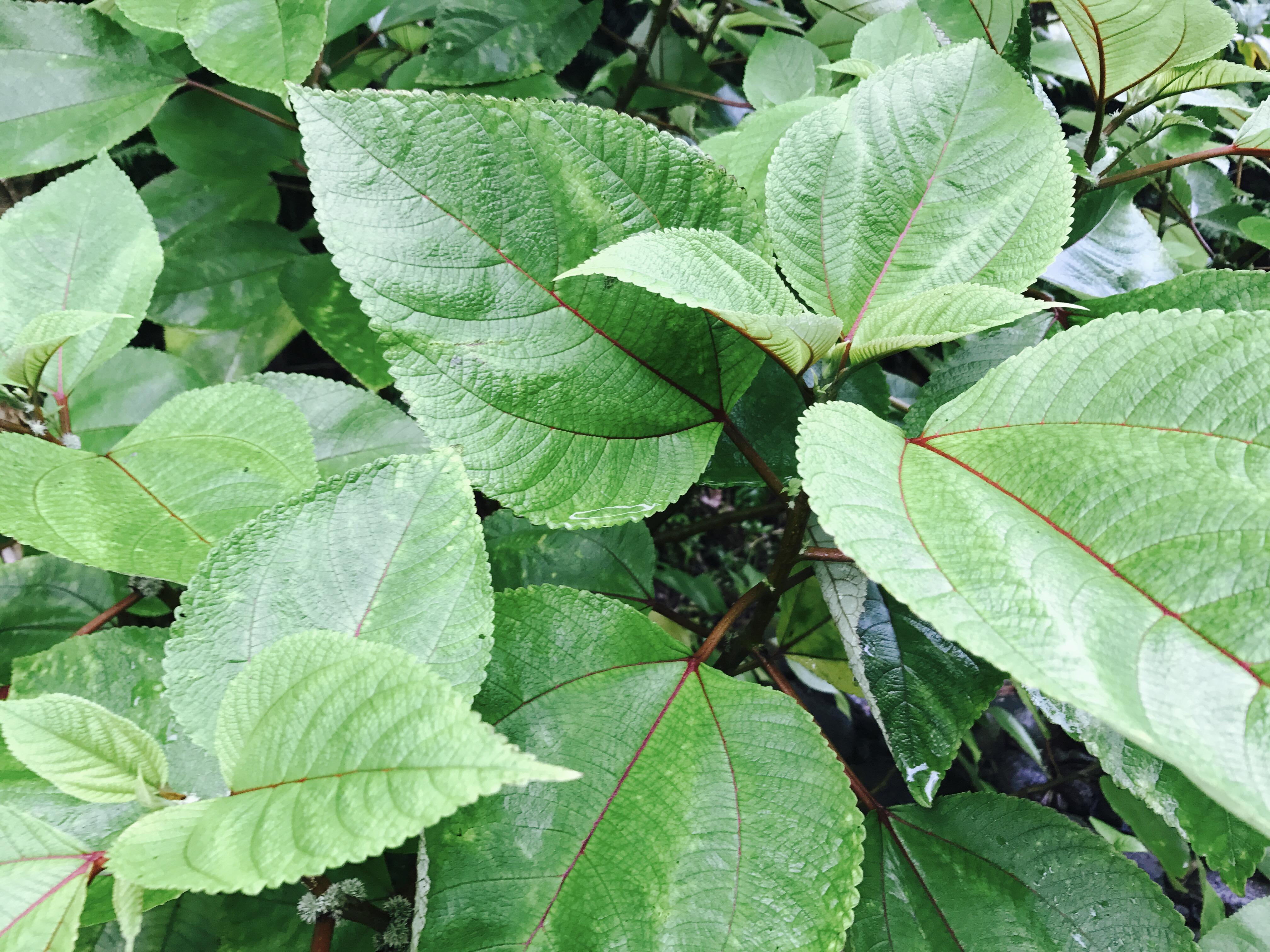 Mmaki a traditional hawaiian medicinal herb big island now young mmaki fruit berries darde gamayo photo izmirmasajfo Images