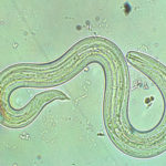 Renowned Vet to Speak About Rat Lungworm Disease in Animals