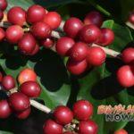 Kona Coffee Cultural Festival Calls Off 50th Celebration