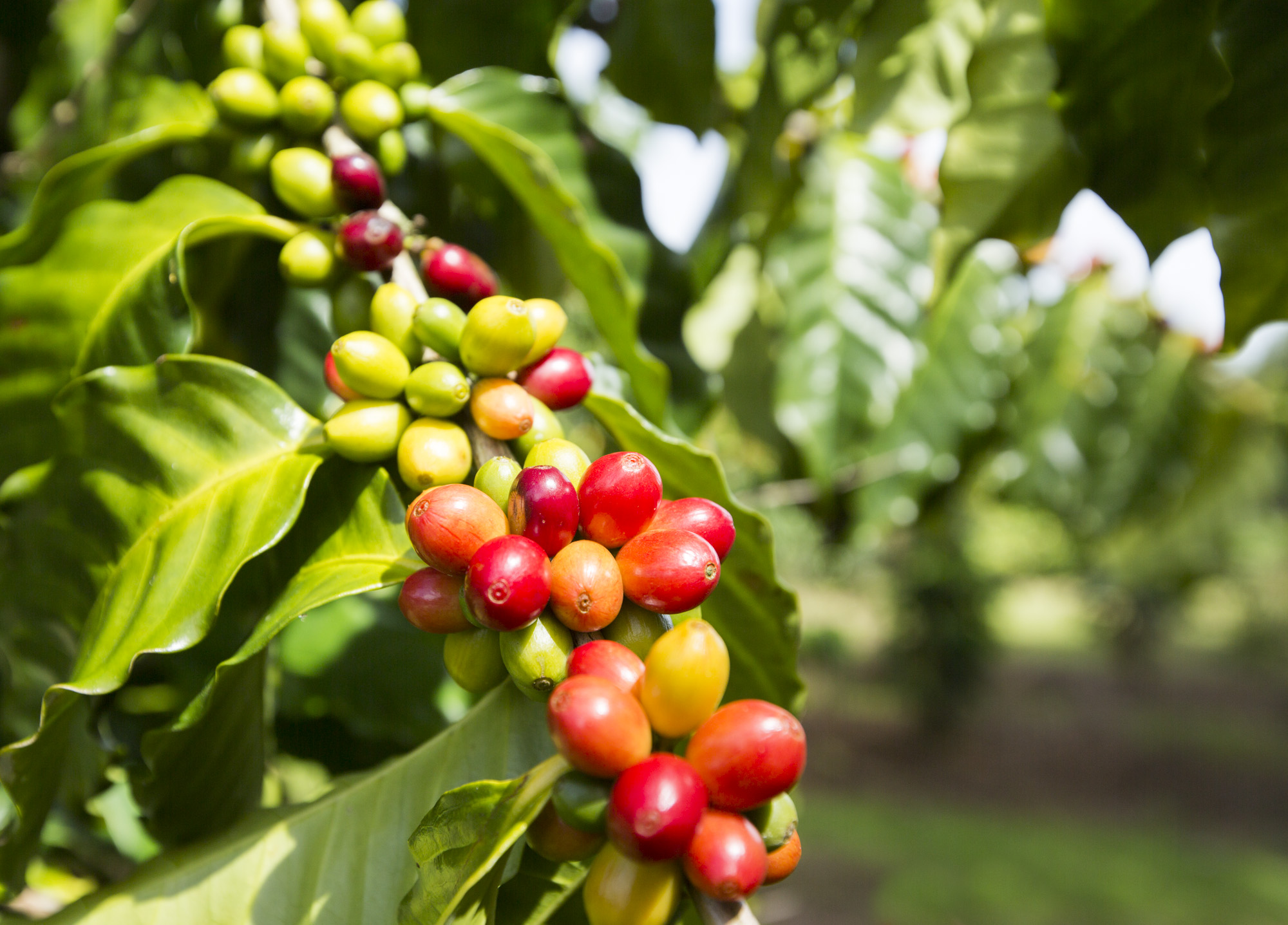 Coffee Tours On The Big Island