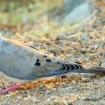 Mourning Dove Hunting Season Cut Short