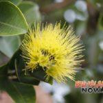 Rapid ʻŌhi'a Death Fungus Discovered on Kaua'i