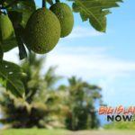 Hawai'i Island Ulu to Be Served in Public Schools Statewide