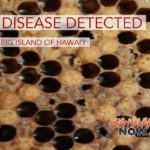 Bee Disease Detected on the Big Island of Hawai'i