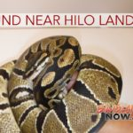 3.5-Foot-Long Python Found Near Hilo Landfill