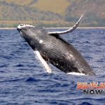 Humpback Mother/Calf Pairs in 'Abundance' Near Sanctuary