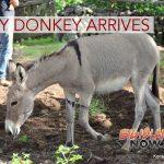Baby Donkey Arrives at Kona Historical Society