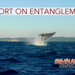 Large Whale Entanglements Documented