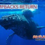 Humpback Season Brings Whales Back to Hawai'i