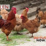 7 Hens Stolen From Waimea Middle School