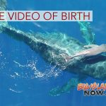 Researchers Capture Birth of Humpback Whale on Video