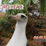 Record Year for Albatross Population at Ka'ena Point