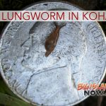 Confirmed Detection of Rat Lungworm Vector in Kohala District
