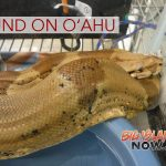 Boa Constrictor Found on O'ahu