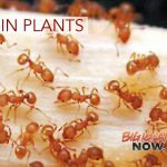 Little Fire Ants Found in Plant Sold at Punahou Carnival