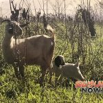 County to Introduce Goats to Hilo Park for Grazing