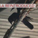 DLNR Releases ʻAlalā on Slopes of Mauna Loa