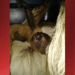 Two-toed sloth born at Hilo Zoo