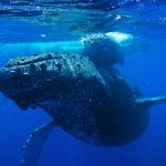 New Council Members Appointed for Humpback Whale Sanctuary