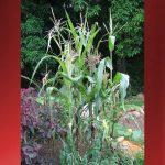 Barefoot Gardener: How Corny!