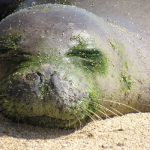 Hawaiian Monk Seal at Ke Kai Ola Mammal Center Dies