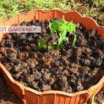 Barefoot Gardener: Perfect Papayas
