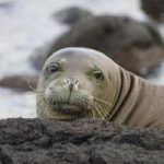 Two Unleashed Dogs Threaten Monk Seal Pup