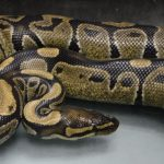 Ambulance Crew Finds Live Ball Python in Hilo